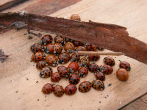 Multicolored Asian ladybeetles search for places to spend the winter and often congregate in protected places.
