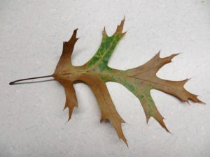 Alt text: Oak leaf from the first oak wilt detection site in Sheboygan County, showing bronzing coloration characteristic of oak wilt infection. Photo: William McKnee, WI DNR