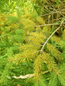 New needles are green (circled in red), and older needles are yellow (circled in blue) on this spruce. Spruce needles that are yellow, with no visible fruiting bodies on the needles, may be suffering from nutrient deficiency due to the constant wet soils this year, or they may have a disease called SNEED (spruce needle drop). Photo by Linda Williams, WI DNR.