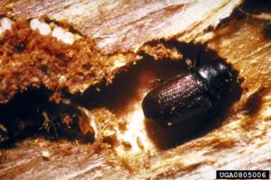 Spruce beetle (Dendroctonus rufipennis)