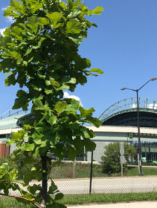 tree planted outside Miller Park