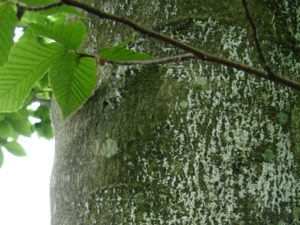 Hundreds of tiny scale insects (covered in white fluff) are present on this small area of beech bark.