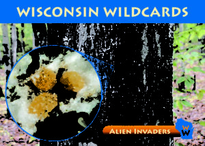 Front and back of the new beech bark disease Wisconsin Wildcard.