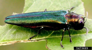 An emerald ash borer adult.