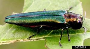 An emerald ash borer adult.