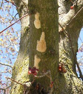 Gypsy moth egg masses