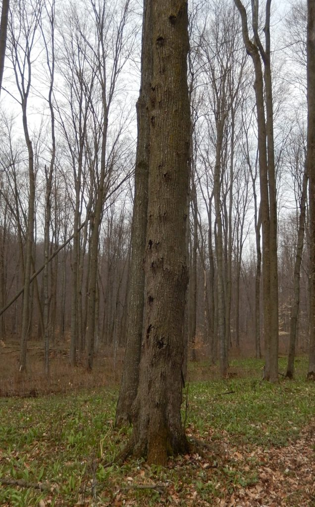 Many small Nectria cankers are present on this basswood tree.