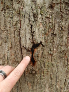 """Closer examination of one of the Nectria cankers on the basswood tree shown in the first photo. You can see how the bark appears to be """"exploding"""" from the inside."""