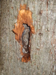 Same canker as in the second photograph, starting to peel away the bark covering the canker face.