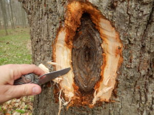 After removing the bark covering the canker, you can see the typical target-shaped canker formed by perennial growth of the fungus.