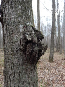 Another example of odd bark growth on basswood associated with Nectria canker. These growths were very thick and solid, but underneath was a small Nectria canker.