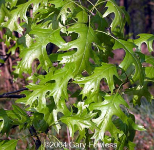Pin oak (Quercus palustris)