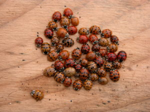 Multicolored Asian ladybeetles cluster together in protected places to wait out the cold.