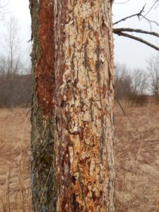 Two elm trees with varying levels of bark stripping caused by woodpeckers feeding on larvae beneath the bark.