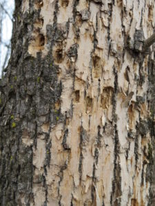 Ash bark with pale areas where woodpeckers have removed outer layers of bark, as well as some small rough holes where the woodpeckers punched through bark and plucked out a nice plump EAB larvae.