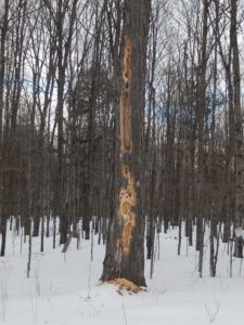 Damage from pileated woodpeckers can be quite extensive. A single woodpecker can create this level of damage in a few days, or it may work at a tree throughout the season. Note the pile of large woodchips at the base of the tree.