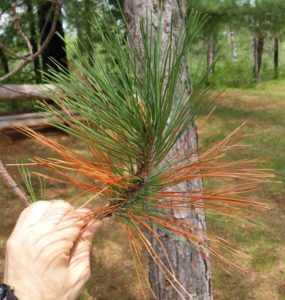 Banding and tip browning of red pine needles.