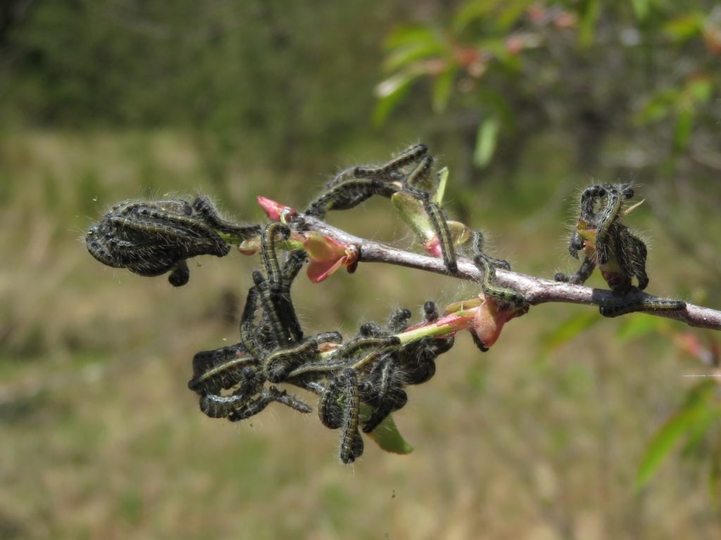 Masses of young eastern tent caterpillars feeding on emerging leaves of a wild black cherry tree. Photo: Linda Williams