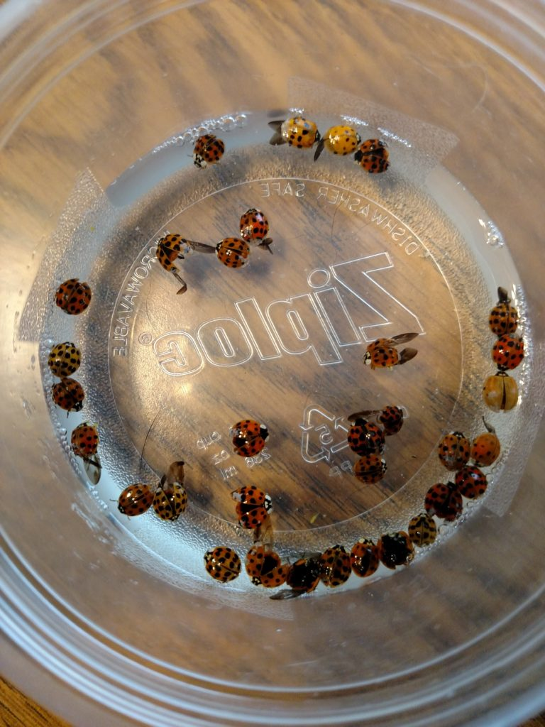 One option for removal of ladybugs from your home is to flick them into a small container containing soapy water, which will kill them.