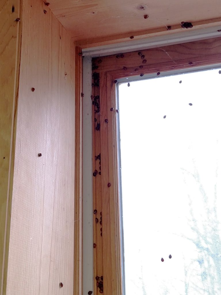 Ladybugs that accidentally emerge into your house will often congregate near lights or windows. Photo: Linda Williams