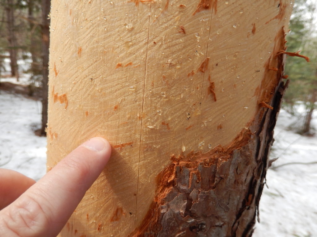 This red pine had the bark stripped off it by a porcupine, which has wider incisors than a squirrel.