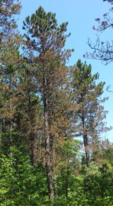 Typical appearance of needle tip browning on lower portion of red pine crowns