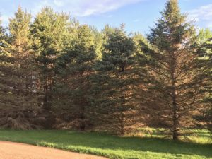 Spruce trees affected by rhizosphaera needle cast disease will have thin foliage in the lower parts of the tree, and branches may die in severe cases. Some trees are more susceptible, like the tree on the far left and the tree on the far right.