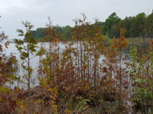 Northern white cedar growing along a shoreline are dying due to constant high-water levels.