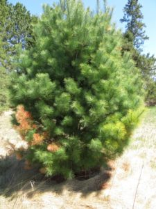 On this white pine, you can see on the lower left a branch recently killed by blister rust; on the lower right is a branch that is slightly off-color. The off-color branch also had a canker but it had not yet completely girdled the branch.