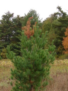 The terminal leader of this young white pine was killed by white pine weevil.