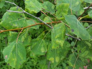 The tops of aspen leaves will appear off-colored when aspen blotch miner caterpillars feed within.