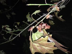 June beetles defoliating an oak sapling at night.