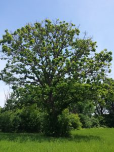 Typical appearance of bur oak with crown dieback associated with cynipid gall wasp infestation in northwest WI during early summer, 2018.