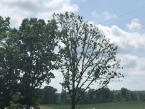 Bur oak with heavy crown dieback and delayed leaf flushing in Polk County.