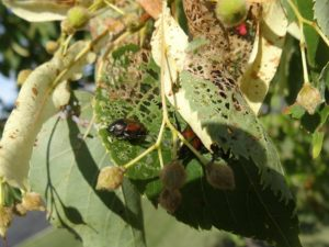 Japanese beetle adults also defoliate many different plants, shrubs, and trees.