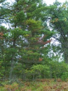 Branches in the mid- and lower-crown of this white pine are being killed by white pine bast scale and a fungal disease.