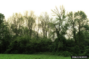 Ash trees dying from an EAB infestation. Photo: Troy Kimoto, Bugwood.org