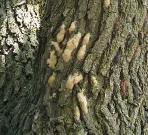 Look for gypsy moth egg masses |