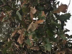 Dying leaves on white oak. Photo: Mike Hillstrom.