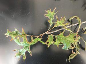 Oak leaf fold galls on red oak leaves. Photo: Mike Hillstrom