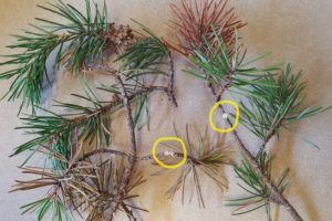 Jack pine tip beetles kill the outer few inches of twigs. The two yellow circles show where sawdust was pushed out of the twig by adult beetles. Photos: Linda Williams