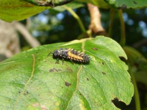 Ladybug larvae don't look much like adults, but they also feed on aphids and scale insects. Photo: Linda Williams.