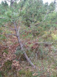 This jack pine is leaning due to damage at its base from pine root collar weevil. Photo: Linda Williams