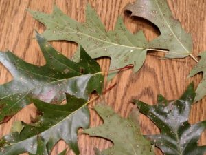 Heavily-spotted oak leaves began to drop in early August. Spots appeared on both the front and back of leaves. Photo: Linda Williams