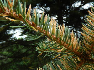 Orange fruiting bodies of spruce needle rust erupt from needles. From a distance, the tree appears orange due to colored pustules on the needles. Photo: Linda Williams