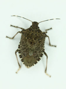 Adult brown marmorated stink bugs are ½ to ¾ inch long, brown with alternating white and black patches on the edge of the abdomen and white bands on the antennae and have smooth shoulders that lack spines.