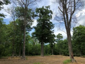 Image shows a group of oak trees. Northern red oak on far left is in wilting stage of disease (leaves on but wilting and dropping). Oak on far right has mechanical root collar injury. Dairyland Township, Douglas County.