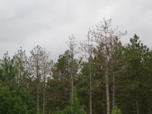 Pocket of HRD-caused thinning and mortality in red pine plantation, Grant County.
