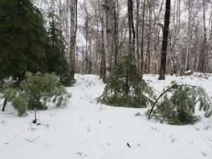 White pine saplings bent over from weight of ice on branches.