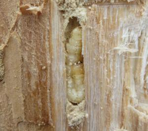 Prepupal larva seen during post-polar vortex sampling to assess larval mortality.